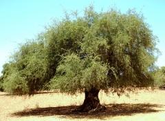 Arganbaum arganöl kosmetik naturkosmetik biokosmetik grosshandel import Export marokko bio nativ naturkost biokost feinkost
